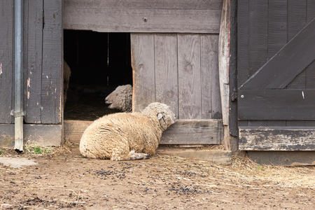 sheep barn: Sheep lay outside their barn on a spring day.