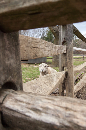 barn barnyard: A sheep looks out from behind a wooden farm fence.