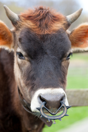 bull rings: A young brown cow grazes in a farmyard pasture. It has a weaning ring in its nose.