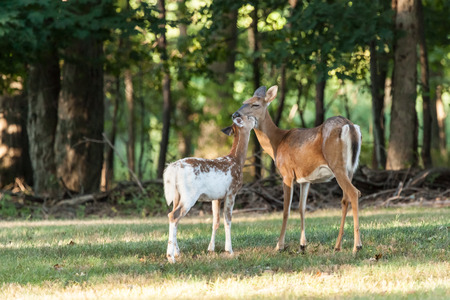 A piebald whitetail deer fawn nuzzles its mother in the woods.