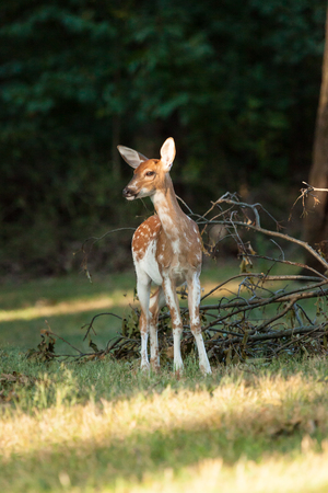 whitetail: A piebald whitetail deer fawn grazes in the woods.