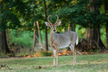 A young Whitetail buck deer grazes in the woods.