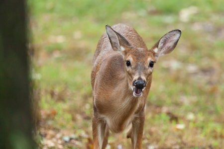 A young whitetail deer grazes on grass Stock Photo