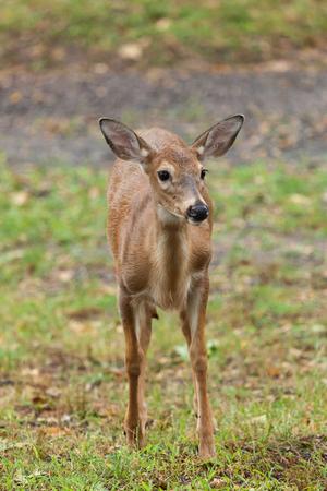 venado cola blanca: A young whitetail deer grazes on grass Foto de archivo