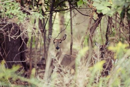 deer  spot: A female whitetail deer hides in the forest.