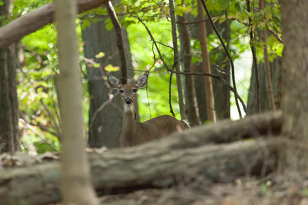 A female whitetail deer hides in the forest.
