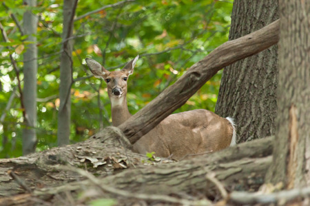 brush tailed: A female whitetail deer hides in the forest.
