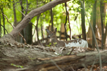 brush tailed: A female Piebald Whitetail deer  hides in the forest. Stock Photo