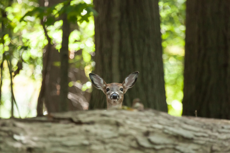 brush tailed: A female whitetail piebald deer peers over the top of a log in the forest. Stock Photo