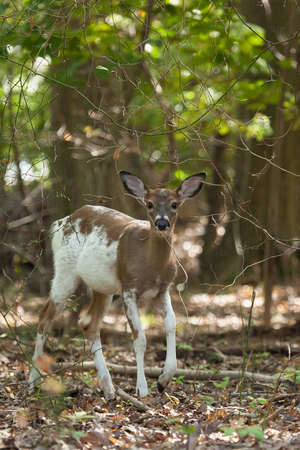 brush tailed: A female whitetail piebald deer walks through the forest. Stock Photo