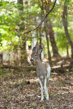 brush tailed: A male Piebald Whitetail deer walks through the forest.