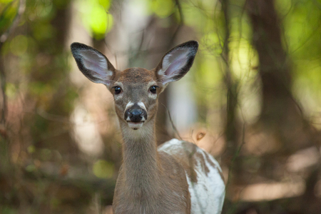 brush tailed: a female whitetail piebald deer walks through the forest.