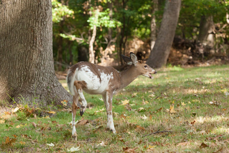 brush tailed: A male Piebald Whitetail deer grazes in the forest.