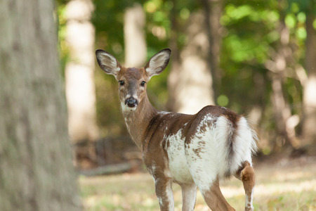 A female whitetail piebald deer walks through the forest. Stock Photo