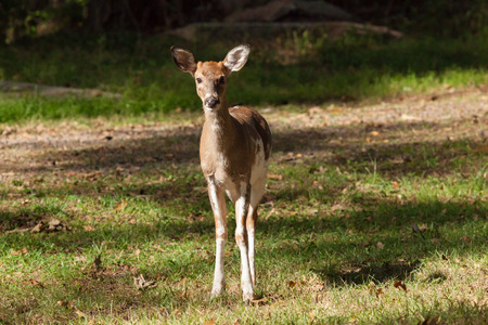 brush tailed: A male Piebald Whitetail deer stands at the edge of the forest. Stock Photo