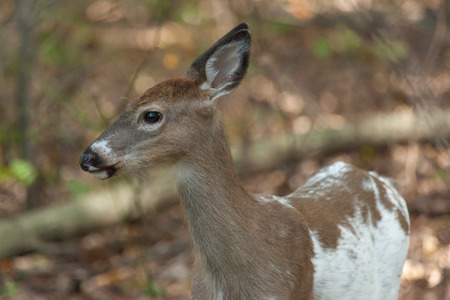 a female whitetail piebald deer walks through the forest.