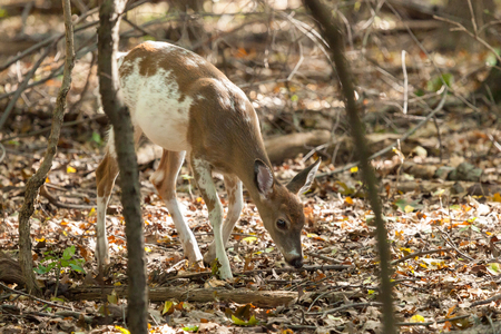 A male Piebald Whitetail deer walks through the forest.
