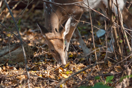 A young male piebald Whitetailed deer grazes in the woods.