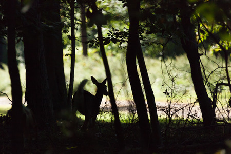brush tailed: A whitetailed deer fawn runs through the forest. Image is a silhouette.