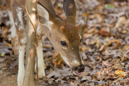 brush tailed: A young male piebald Whitetailed deer grazes in the woods.