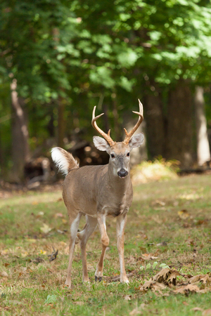 whitetailed: A Whitetailed deer buck gives a signal to stay away. Stock Photo