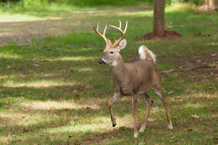 whitetailed: A Whitetailed deer buck walks at the edge of the forest.