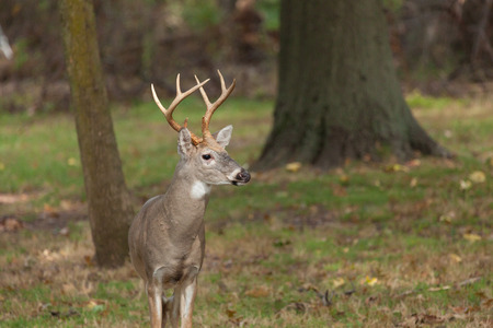 whitetailed: A Whitetailed deer buck stand at the edge of the forest.