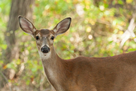 A Whitetailed deer doe stands in the forest.