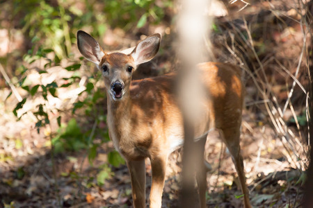 brush tailed: A whitetailed female fawn stands in the middle of the forest.