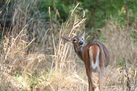 brush tailed: A whitetailed female fawn stands in tall grasses in the forest.