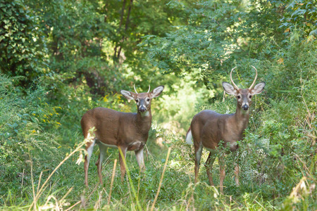 Two whitetailed bucks stand in tall grasses in the forest.