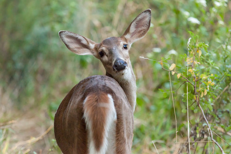 brush tailed: A whitetailed doe stands in the forest. Stock Photo