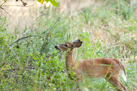 A whitetailed female fawn stands in tall grasses in the forest.