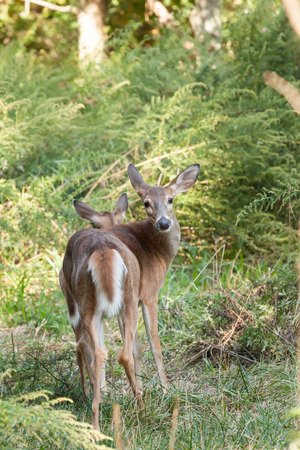 A whitetailed doe stands in the forest. You can see her fawn behind her.