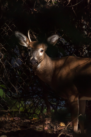 brush tailed: A young whitetailed buck stands against a chain link fence. The sun shines on his face. Stock Photo