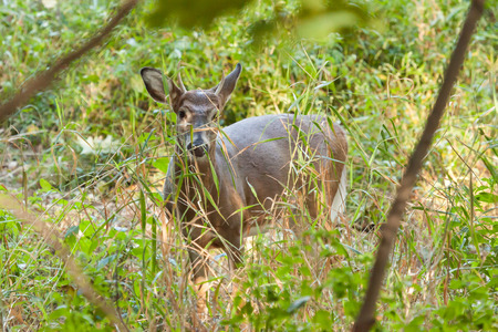 brush tailed: A whitetailed buck stands in the forest behind tall grasses.