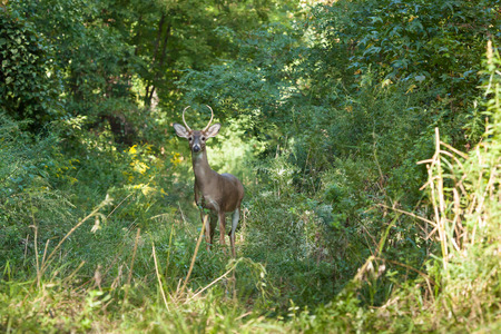 deer  spot: A whitetailed buck stands in tall grasses in the forest.