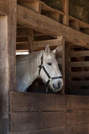 Een wit paard staat binnen een stabiel.
