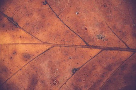 A macro image of an oak leaf, showing its veins Фото со стока