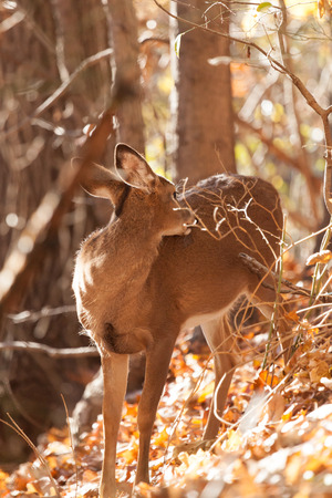A young whitetailed deer doe grooms itself in the forest.