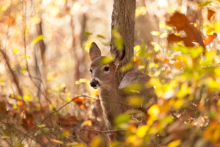 A young whitetailed deer doe grazes in the forest during Autumn.