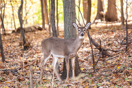 whitetailed: A young whitetailed deer doe grazes in the forest.