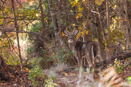 whitetailed: A whitetailed buck walks through the woods.