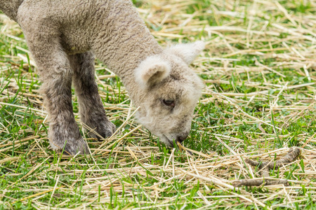 Newborn baby lambs grazing on a farm Stock Photo