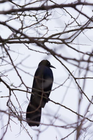 A black Grackle bird sits in a barren tree.