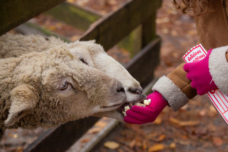 A little girl feeds sheep popcorn at the zoo.