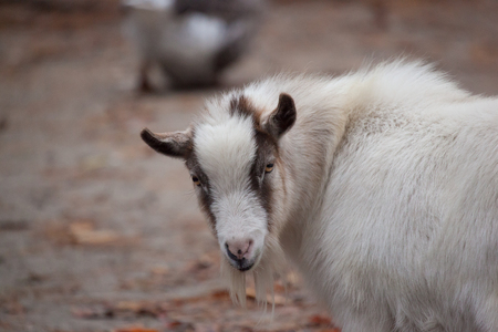 A goat looks at the camera at a zoo