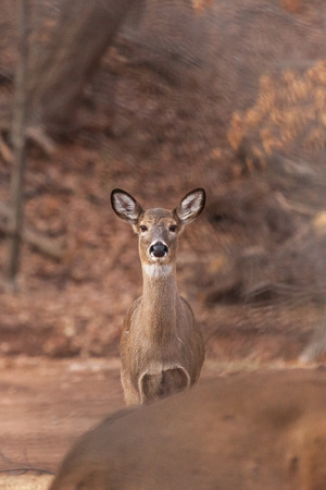 A White-tailed doe stands watch at the edge of the woods.
