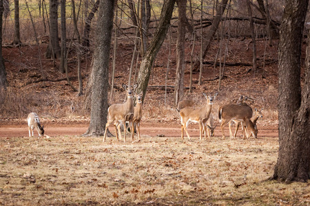 A large group of White-tailed deer grazes near the edge of the woods.