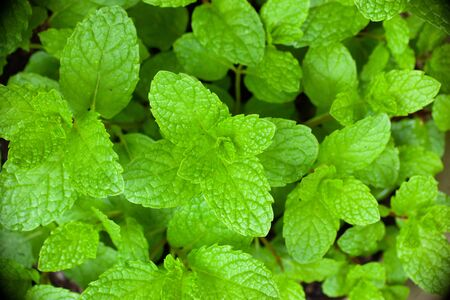 Bright green sweet mint herb plant in spring